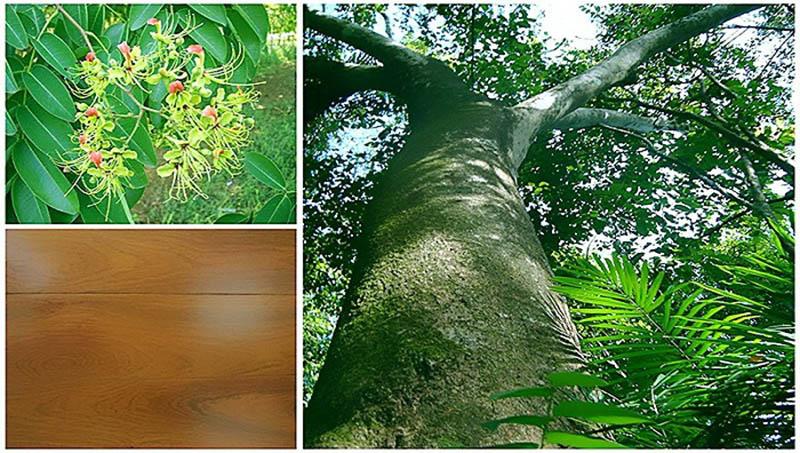 cây gỗ gõ đỏ lâu năm