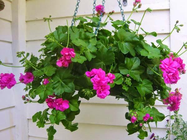 hoa phong lữ thảo rủ